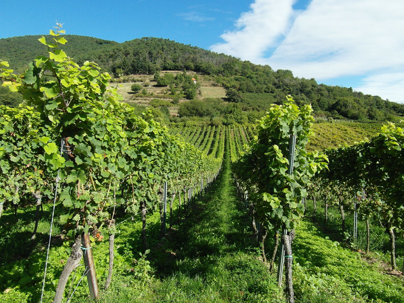 vineyards-259860_1280